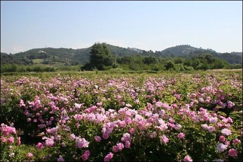 Quelle est la seule fleur poussant de manière naturelle à Grasse ?