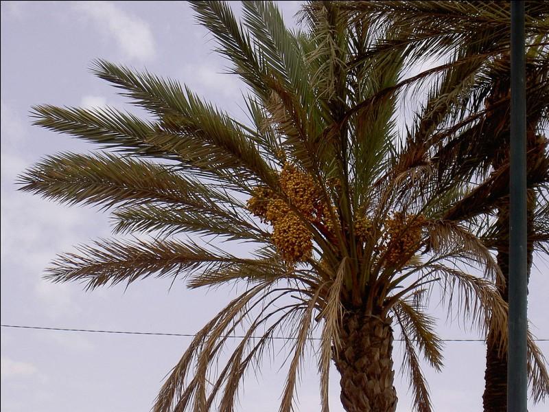 """P - Les """"phœniciculteurs"""" cultivent les palmiers dattiers."""