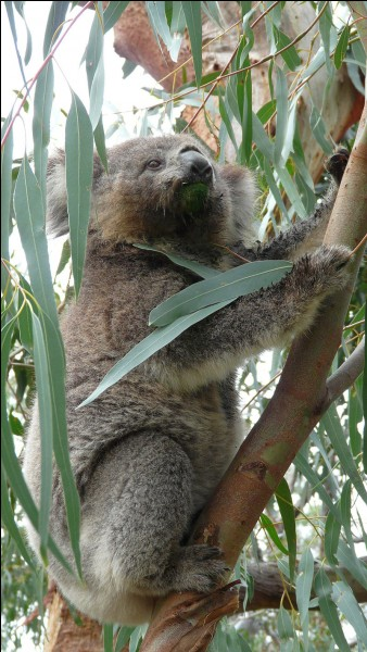 """K - Le """"koala"""", marsupial arboricole endémique de l'Australie, boit très rarement."""