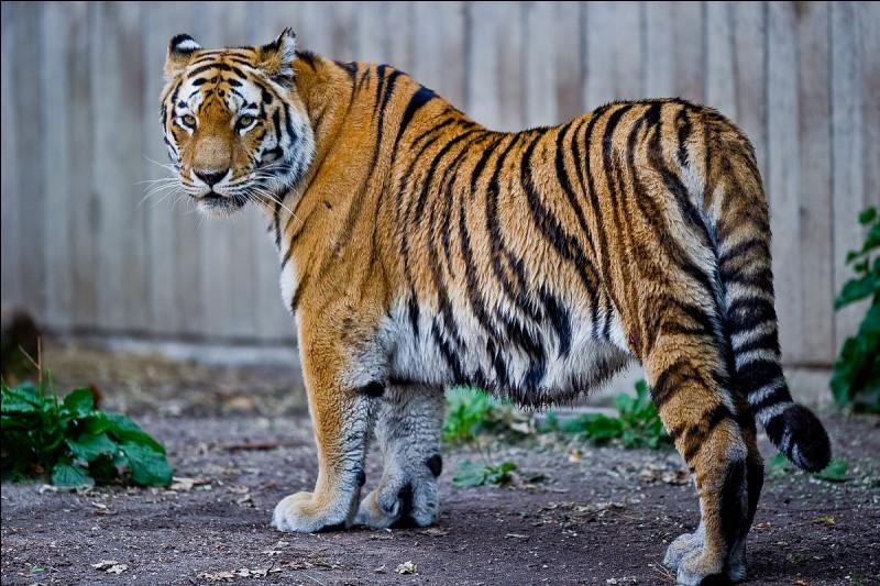 Quelle est la vitesse approximative du tigre ?