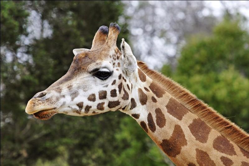 "Comment dire ""une girafe"" ?"
