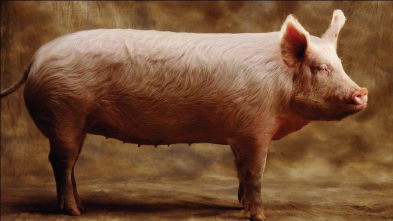 """Comment dire """"cochon"""" ?"""