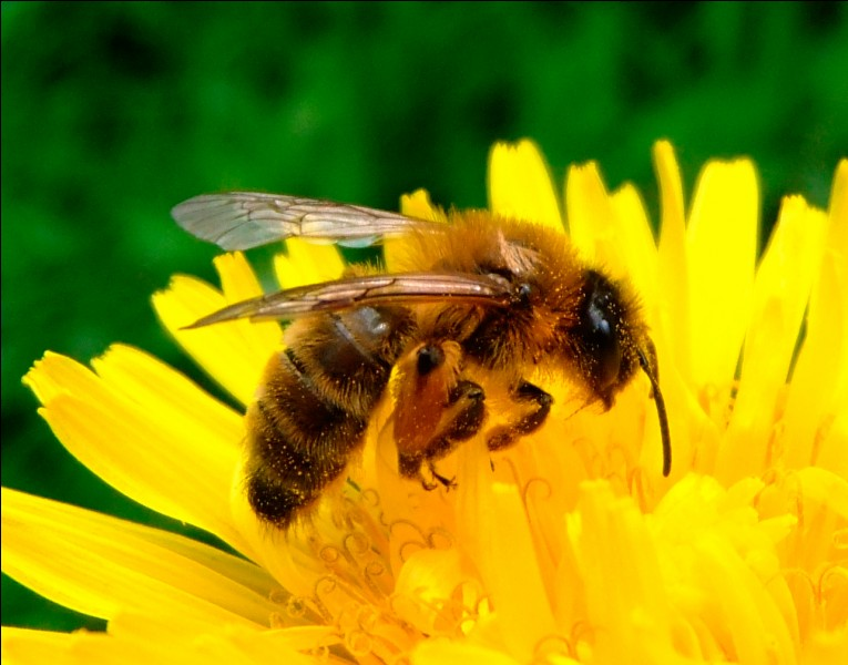 Que fait l'abeille ?