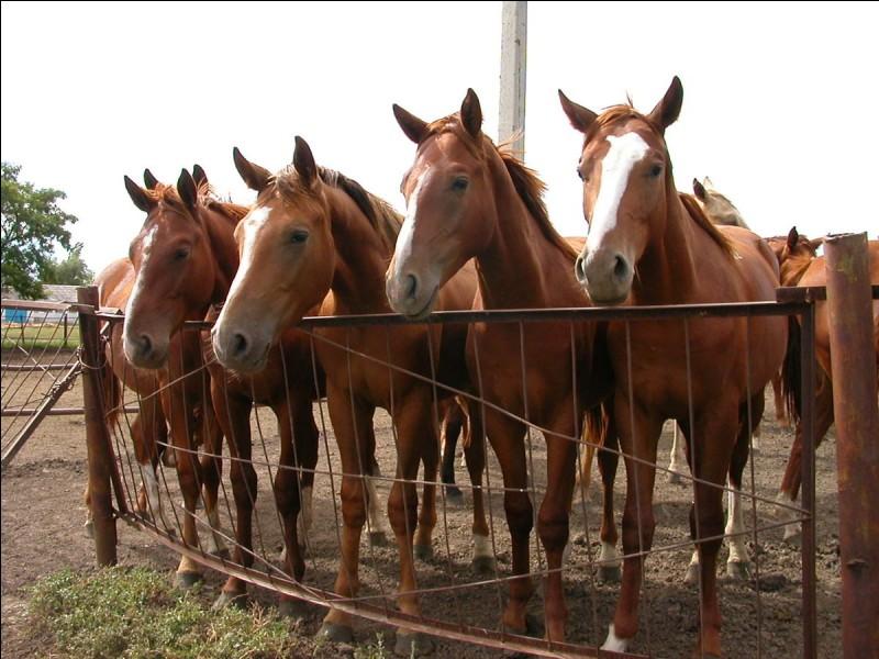 Comment s'appelle la tache blanche située sur la tête du cheval ?