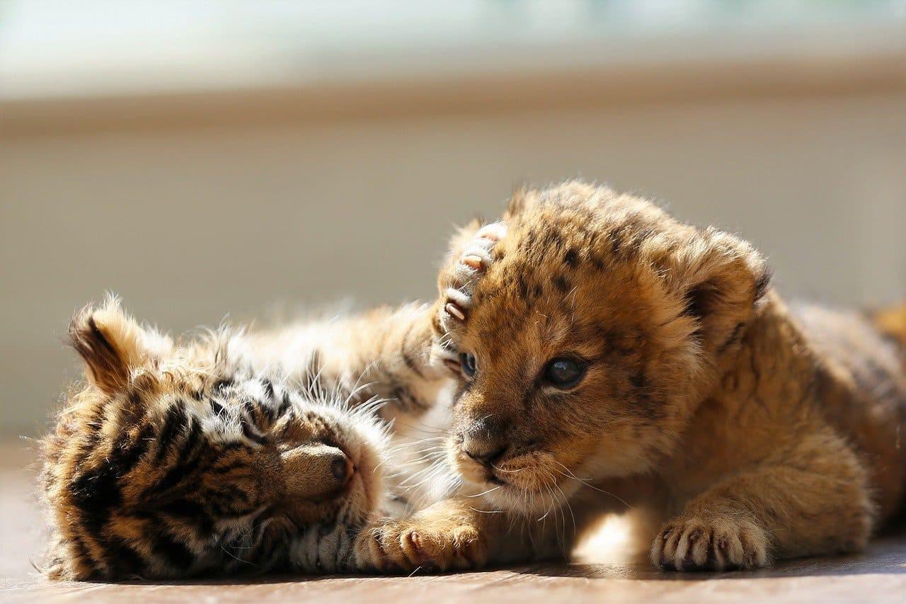 Plutôt tigre ou lion ?