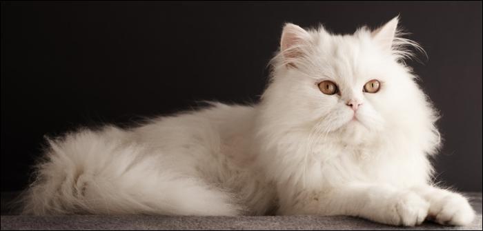 Commune française du département du Val-d'Oise, je porte le nom de la race de ce chat.
