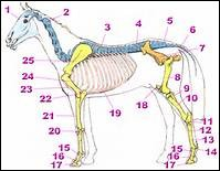 Quel est l'os numéro 25 ?
