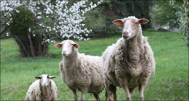 Le bouquet est une maladie qui affecte le mouton, laquelle ?