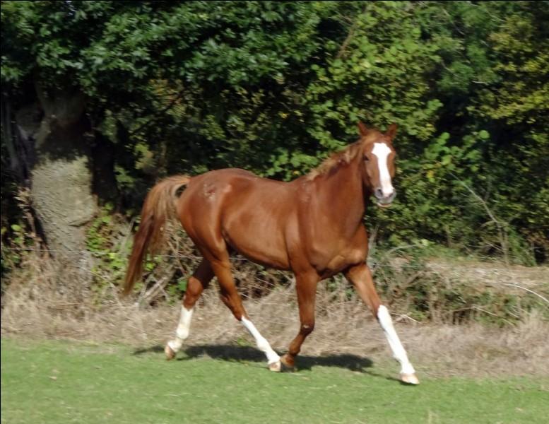Comment appelle-t-on la robe du cheval quand celle-ci et la crinière sont marron ?
