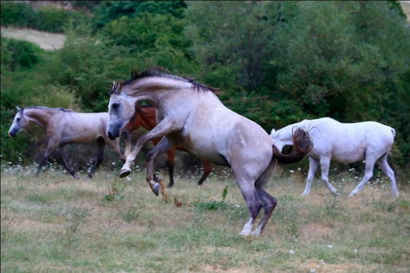 Quel nom donne-t-on à un cheval castré ?