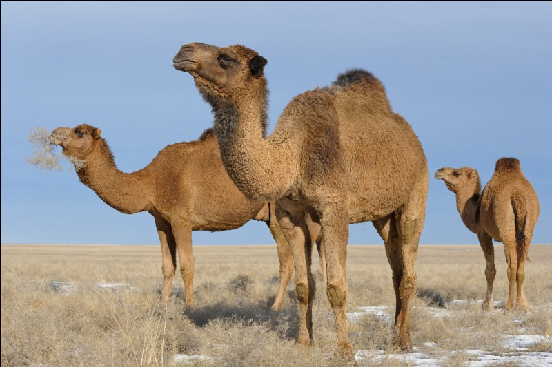 Le chameau a une bosse.
