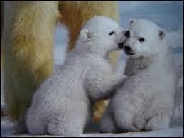Quel poids peut parfois atteindre le mâle ours blanc adulte ?