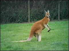 Quelle est la durée de vie pour un kangourou roux ?