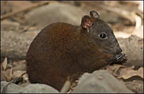 Quel est le poids du kangourou-rat musqué ?