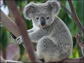Quelle est la longueur de la queue du koala ?