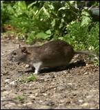 Quelle est la longueur du rat d'eau australien ?