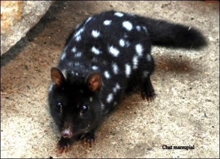 Quel est le temps de gestation chez le rat marsupial moucheté ?