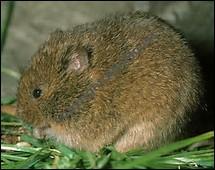 Quelle est la longueur de la queue de la souris sauteuse ?