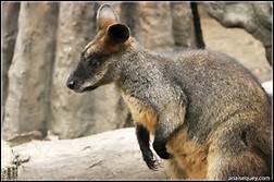 Quel est le poids du wallaby bicolore ?