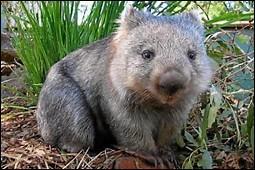 Quel est le temps de gestation chez le wombat à nez poilu du Sud ?