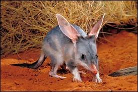 Quelle est la longévité du bandicoot-lapin ?