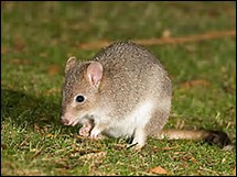 Quelle est la longueur de la queue du bettong de Tasmanie ?