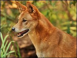 Quelle est la longueur du dingo ?