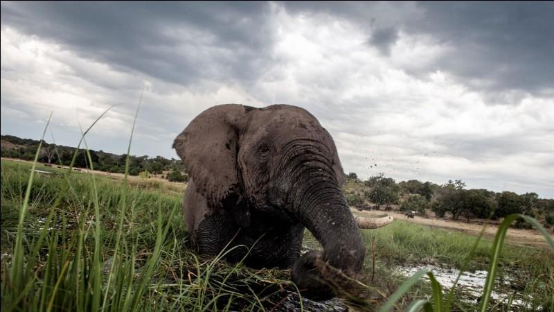 Il meurt écrasé par un éléphant tout juste abattu :