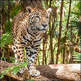 Le jaguar vit en Amérique.