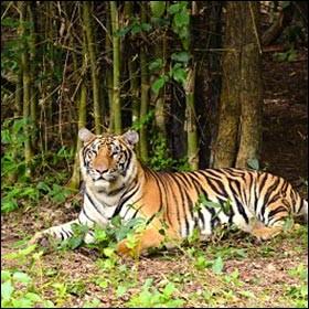Les yeux du tigre sont similaires à ceux du chat.