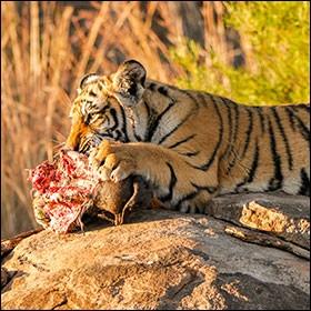Un tigre adulte mange entre 1800 et 2500 kg (3900 et 5500 lb) de viande par an.