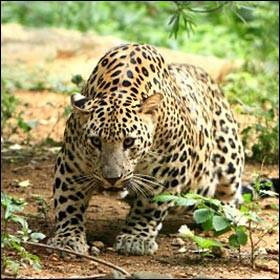 Le léopard mange dans les arbres.