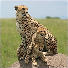 La femelle guépard défend sa tanière avec acharnement.