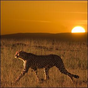 Comme beaucoup de félins, le guépard aime chasser dans la pénombre.