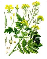 Quelle plante est de la même famille que la moutarde ?