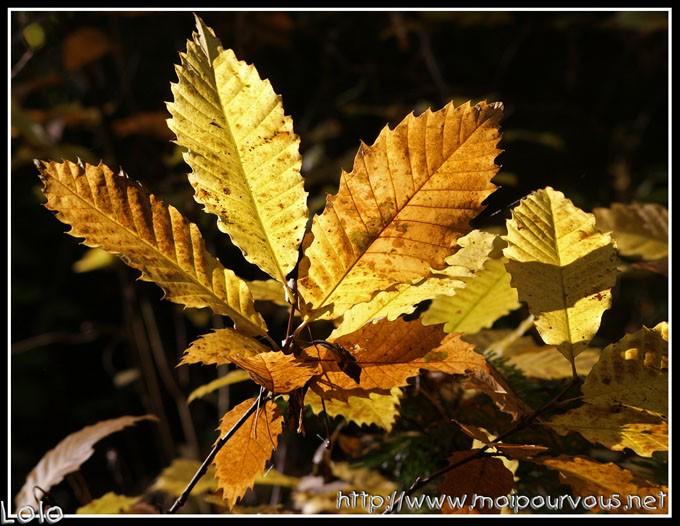 Que trouverez-vous, à l'automne, sous cet arbre ?