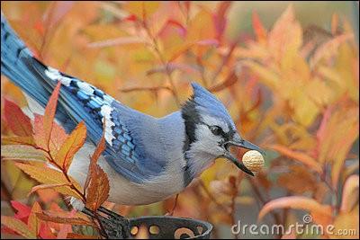 Quel est cet oiseau qui stocke sa nourriture à l'automne ?