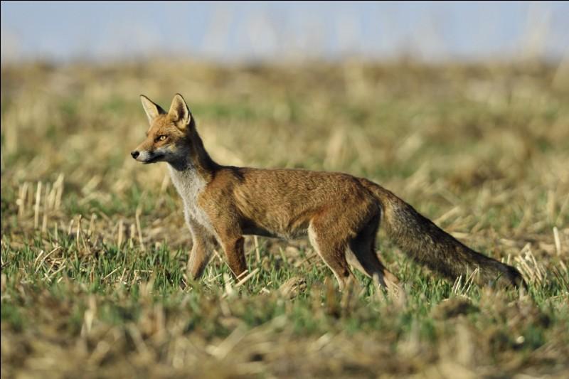 De quel animal solitaire des campagnes la hase est-elle la femelle ?