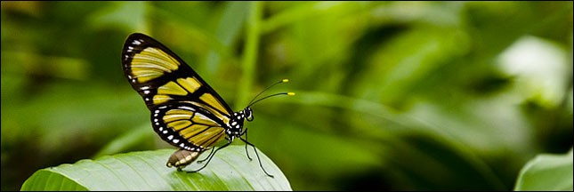 Combien les papillons adultes ont-ils de paires d'ailes ?