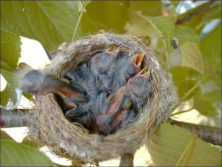 """Quel passereau dit """"élégant"""" utilise la soie d'araignée pour tisser son nid ?"""
