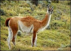 Quelle est la longueur de la queue du guanaco ?