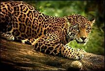 Quelle est la longévité chez le jaguar ?