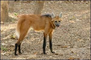 Quelle est la longueur du loup à crinière ?