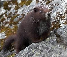 Quel est le poids de la marmotte de l'île de Vancouver ?