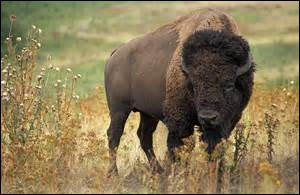 Quelle est la longévité chez le bison d'Amérique de Nord ?