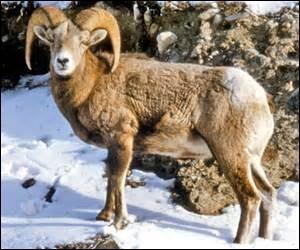 Quel est le poids du mouflon canadien ?