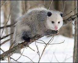 Quelle est la longévité de l'opossum de Virginie ?