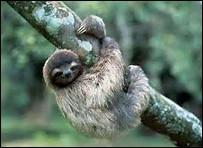 Quelle est la longueur de la queue du paresseux nain ?