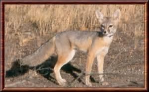 Quel est le poids du renard nain ?