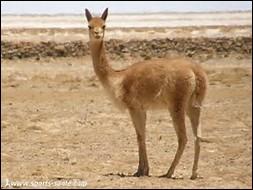 Quelle est la longueur de la queue de la vigogne ?